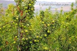 Granny Smith apples in Yakima Washington