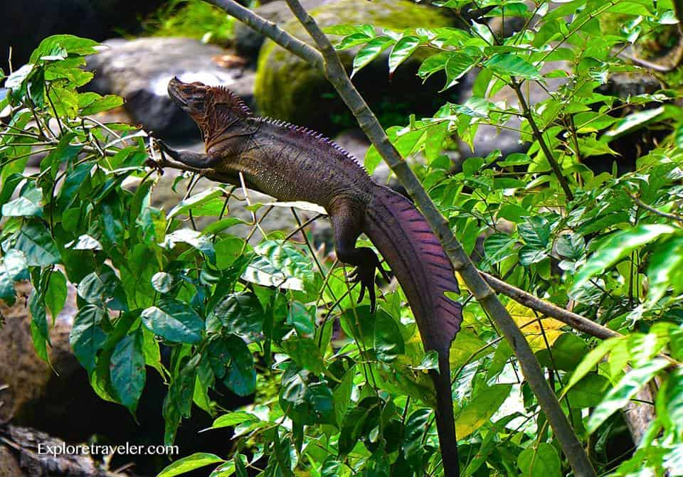 Sail-fin Dragon Lizard