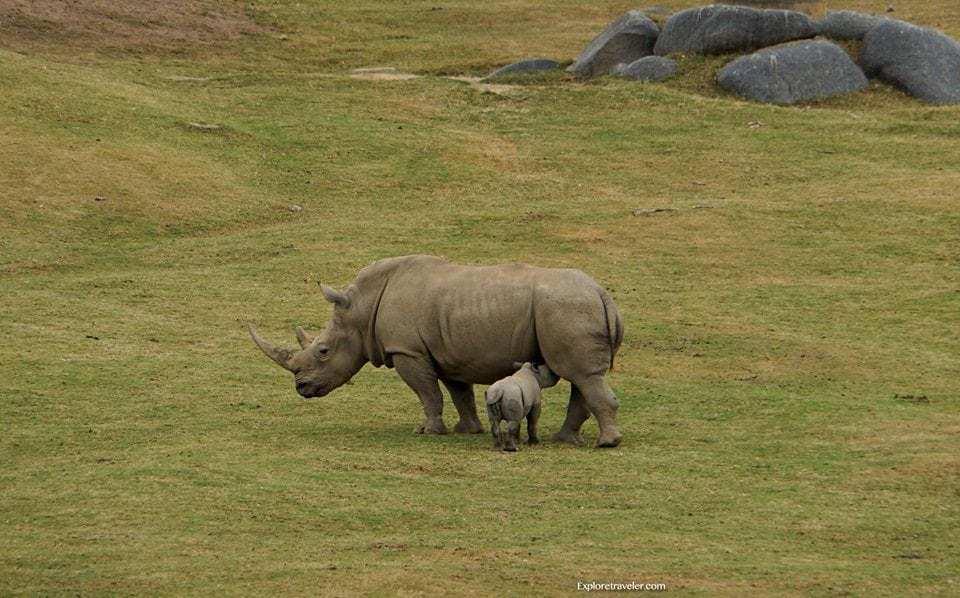 Mother and two week old Baby White #Rhino named #Kianga at San Diego Zoo #Safari Park in #California