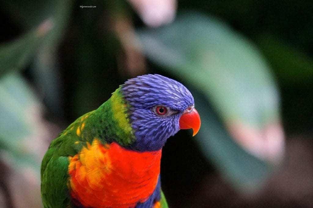 The rainbow lorikeet of Australia