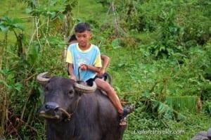 Kalabaw ng Pilipinas na nasa Trabaho at nag-lalaro - A man standing next to a cow - Carabao