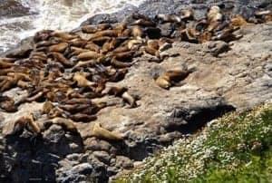 Exploring The Oregon Coast - A seal on a rocky beach - Piedras Blancas Light Station