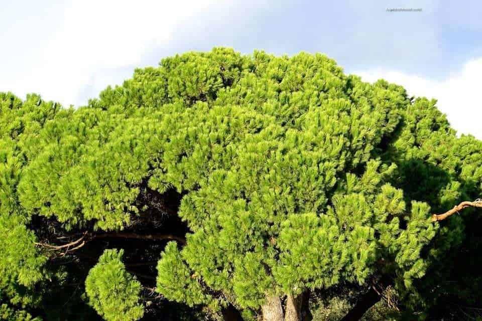 Trees around Belem Tower