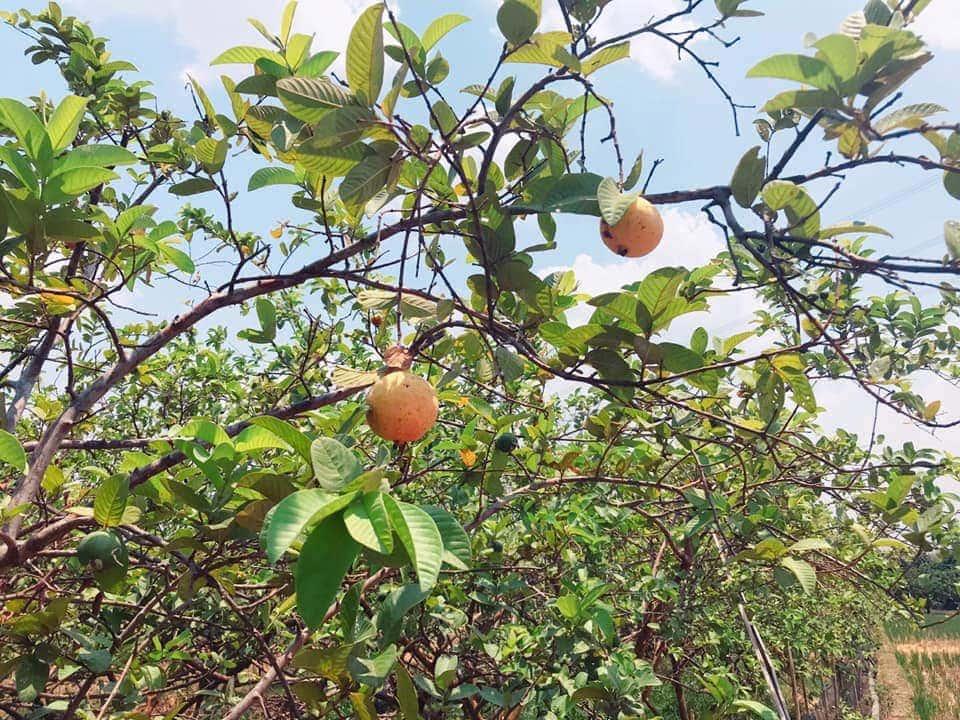 Musim panen akan segera tiba-Harvest season is coming Guava Majalengka Westjava Indonesia