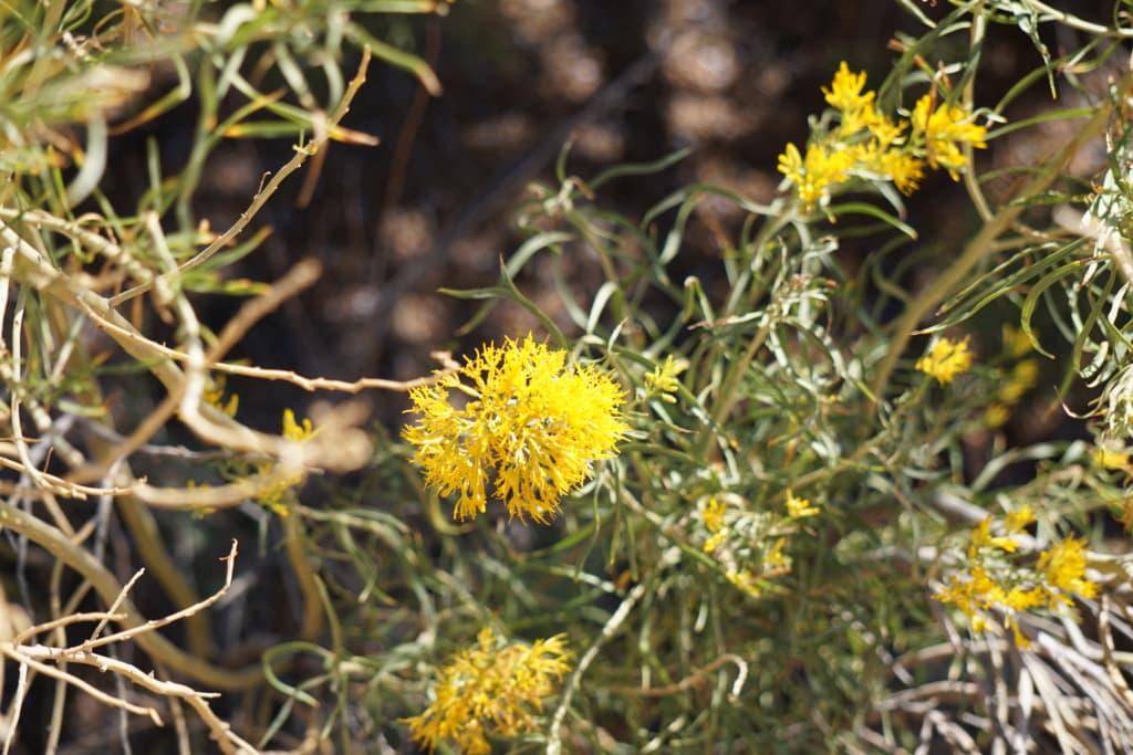 Wild yellow flowers of the desert