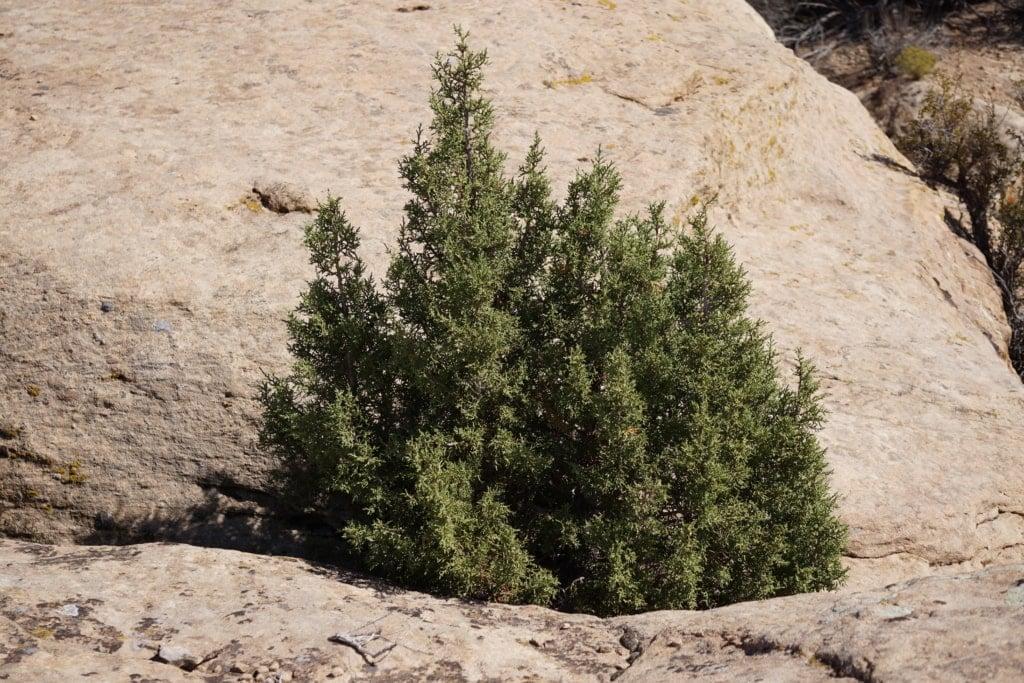 Juniper bush growing in the rocks.
